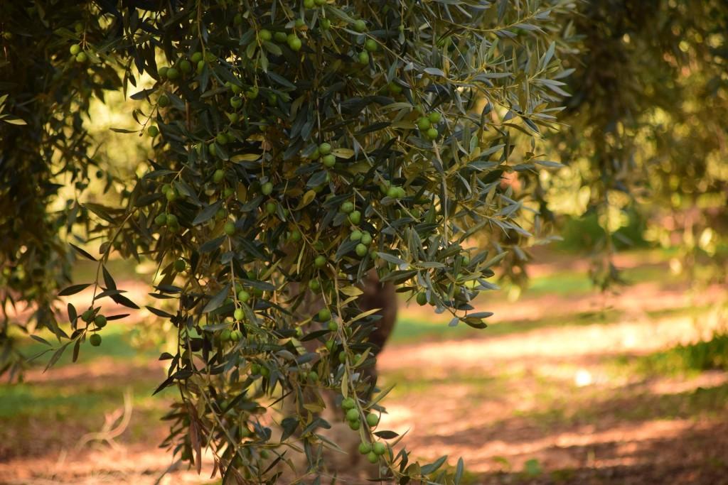 olivier-hypotenseur-naturel-hypertension